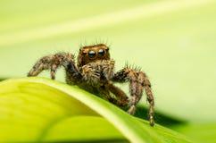 Araignée sautante Photos stock