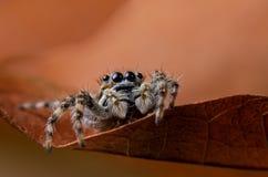 Araignée sautante Images libres de droits