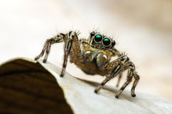 Araignée sautante photos libres de droits