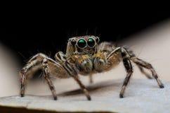 Araignée sautante Photo stock