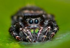 Araignée sautante audacieuse sur un fond vert photos stock