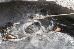 Araignée sautante, chrysops de Philaeus Photos libres de droits
