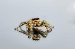 Araignée sautante commune réfléchissant sur le fond blanc Photographie stock libre de droits