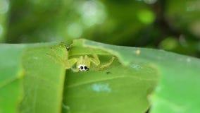 Araignée sautante dans la forêt tropicale tropicale banque de vidéos