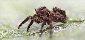 Araignée sautante de Brown Photographie stock libre de droits
