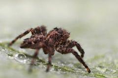 Araignée sautante de Brown Image stock