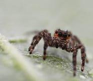 Araignée sautante de Brown Photo libre de droits