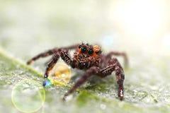 Araignée sautante de Brown Images stock