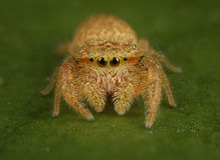 Araignée sautante de Rhene Photos stock