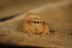 Araignée sautante de Rhene Photographie stock