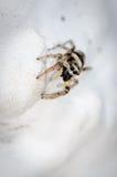 Araignée sautante de zèbre sur la chasse Photos stock