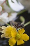 Araignée sautante minuscule Photos stock