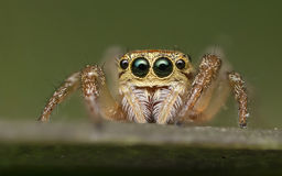 Araignée sautante - Salticidae Photos stock