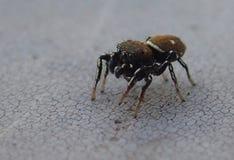 Araignée sautante seule Image stock