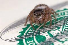 Araignée sautante sur cent dollars photographie stock libre de droits