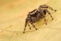 Araignée sautante sur la feuille photo stock