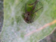 Araignée se cachant en toile d'araignée Image libre de droits
