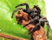 Araignée shaggy Photo stock