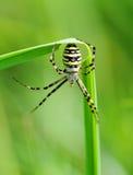 Araignée sur l'herbe Photo libre de droits