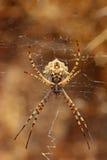 Araignée sur la toile d'araignée Image libre de droits
