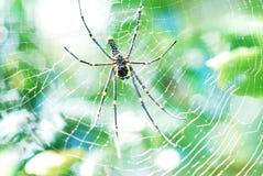 Araignée sur le Web photos libres de droits