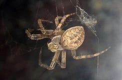 Araignée sur le Web Image stock