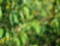Araignée sur le Web images stock
