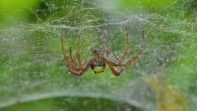 Araignée sur le Web dans la forêt tropicale tropicale banque de vidéos