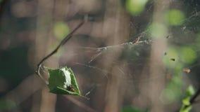 Araignée sur le Web dans le vent clips vidéos