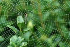 Araignée sur le Web humide Photos libres de droits