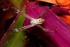 Araignée sur le Web humide Photo libre de droits