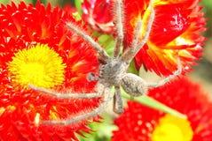 Araignée sur les fleurs rouges Photo stock