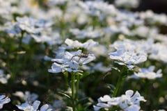 Araignée sur les WildFlowers blancs image stock