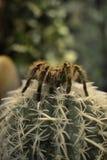 Araignée sur un cactus Photo libre de droits