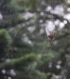 Araignée sur un Web Photo libre de droits