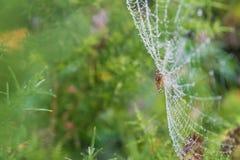 Araignée sur un Web avec des baisses de rosée pendant le matin Image stock