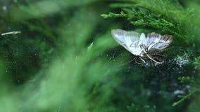 Araignée tenant sa victime un papillon sur la toile d'araignée banque de vidéos