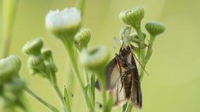Araignée tenant son papillon de victime banque de vidéos