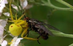 Araignée - vatia de Misumena photo libre de droits