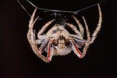 Araignée velue de champ (femelle) Photos libres de droits