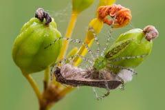 Araignée verte de lynx Image libre de droits