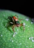 Araignée verte et rouge sur la mangue Photographie stock libre de droits