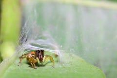 Araignée verte principale de saut photos libres de droits