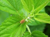 Araignée verte sur la feuille Photo libre de droits