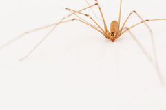 Araignée vivante de maison Image stock