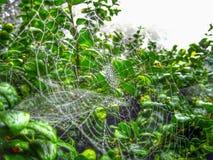 Araignée Webb de début de la matinée Photo stock
