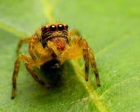Araignées sautantes image libre de droits