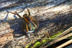 Araignée bordée de l'eau Image libre de droits