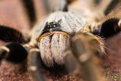 Araignée à cornes de babouin Photographie stock