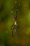 Araignée d'or de tisserand de Web de corps rond Image stock